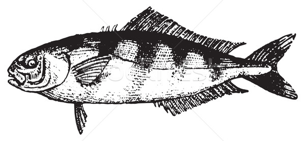 Pilot fish or Naucrates ductor, vintage engraving. Stock photo © Morphart