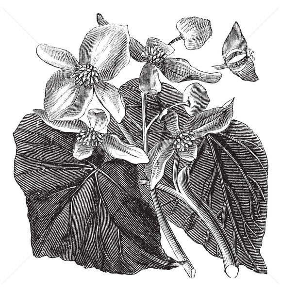Begonia or Begoniaceae flower, vintage engraving. Stock photo © Morphart