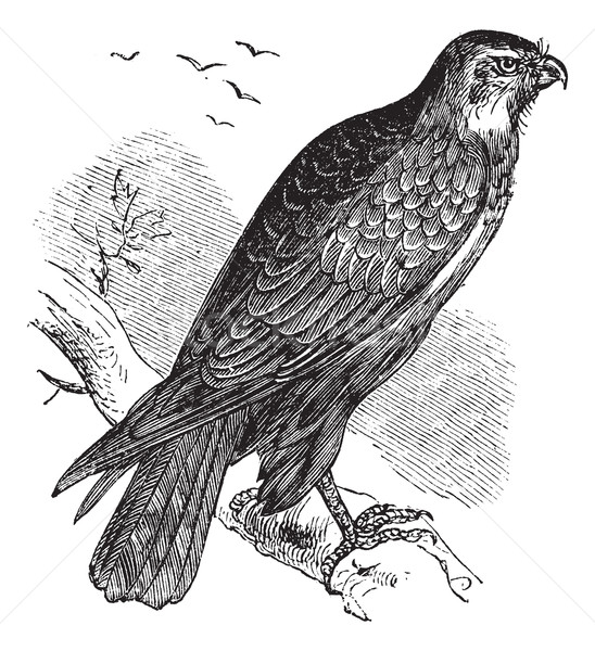 Buteo buteo or Common Buzzard, raptor, vintage engraving. Stock photo © Morphart