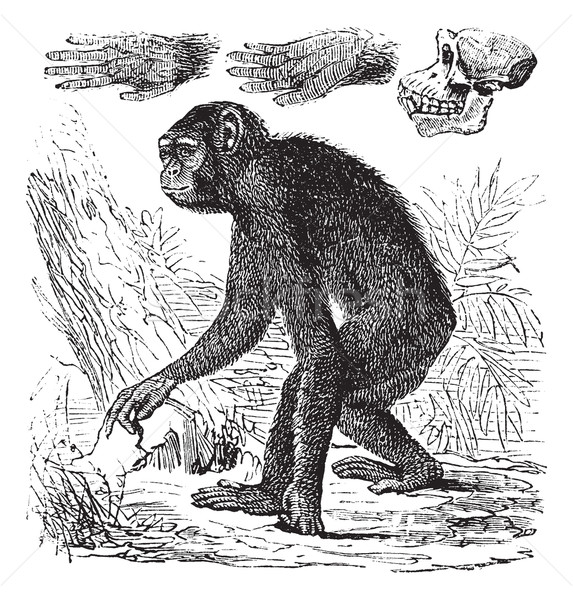 Chimpanzee or Pan troglodytes vintage engraving Stock photo © Morphart