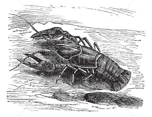 Lobster or Crayfish or Astacus sp., vintage engraving Stock photo © Morphart