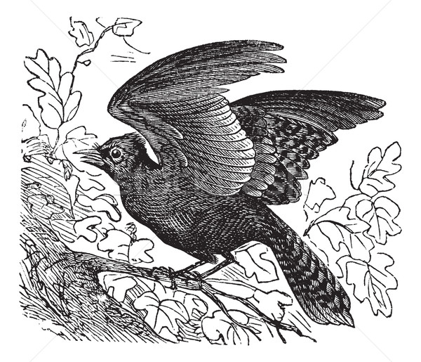 Blue Jay or Cyanocitta cristata vintage engraving Stock photo © Morphart