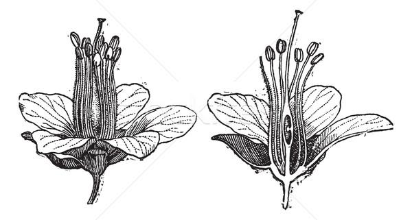 Logwood or Haematoxylum campechianum, vintage engraving Stock photo © Morphart