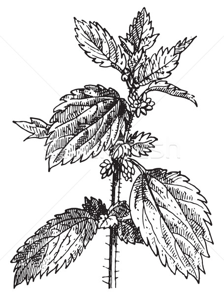 Stinging nettle or Nettle, vintage engraving. Stock photo © Morphart