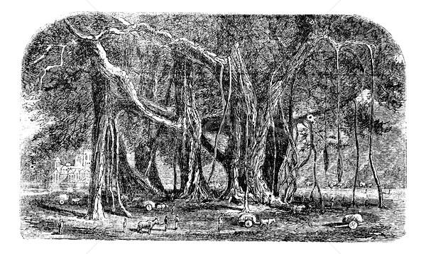 Banyan or Ficus benghalensis, vintage engraving.  Stock photo © Morphart