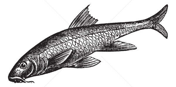 Barbus barbus or Common Barbel. Vintage engraving. Stock photo © Morphart