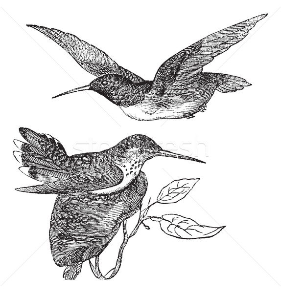 Anna's Hummingbird or Calypte anna vintage engraving Stock photo © Morphart