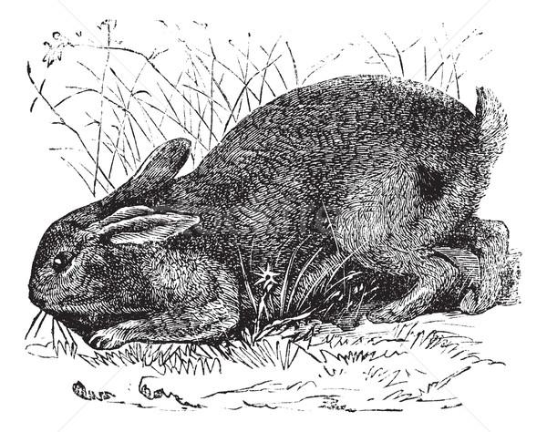 Common Rabbit (Lepus cuniculus) or European Rabbit vintage engra Stock photo © Morphart