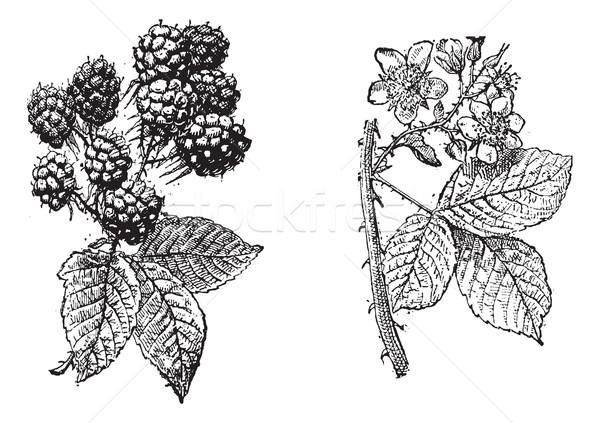 ブラックベリー 花 フルーツ ヴィンテージ 彫刻 刻ま ストックフォト © Morphart