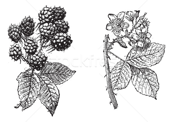 BlackBerry цветок фрукты Vintage Сток-фото © Morphart