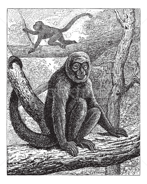 Humboldt's Woolly Monkey or common woolly monkey, vintage engrav Stock photo © Morphart