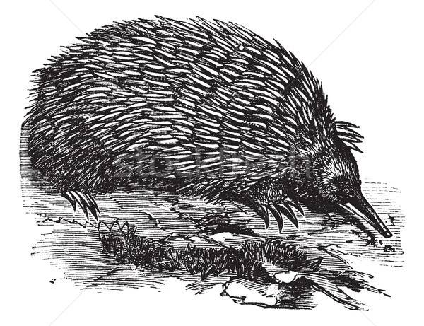 Echidna or Spiny Anteater or Zaglossus sp. or Tachyglossus sp.,  Stock photo © Morphart