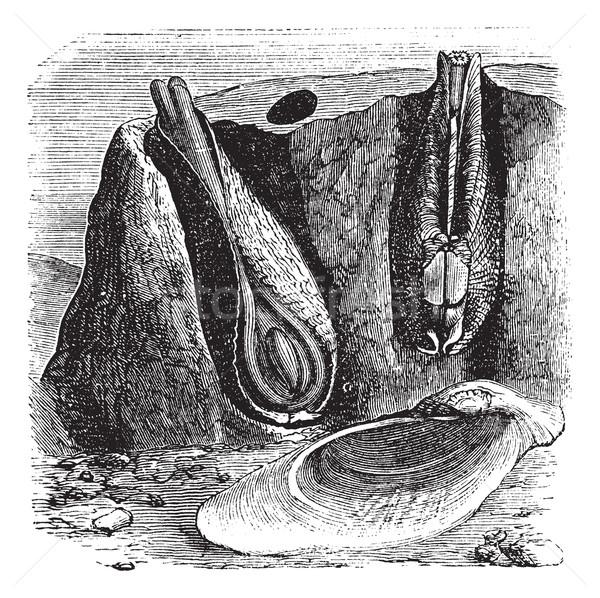 Common Piddock or Pholas dactylus vintage engraving Stock photo © Morphart
