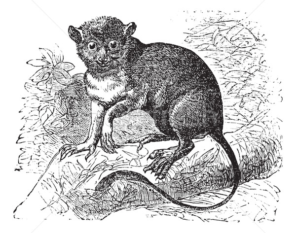 Spectral tarsier or Tarsius tarsier vintage engraving Stock photo © Morphart