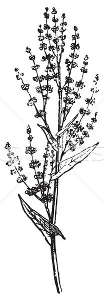 Sorrel or Common sorrel, vintage engraving.  Stock photo © Morphart