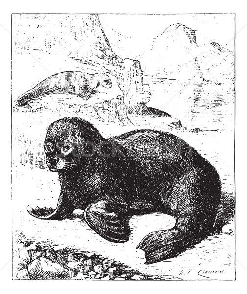 Sea lion, vintage engraving. Stock photo © Morphart