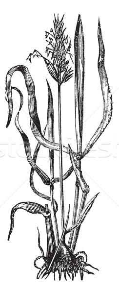 Stock photo: Anthoxanthum odoratum, or sweet vernal grass vintage engraving.