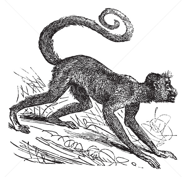 Ateles paniscus or Red-faced spider monkey. Vintage engraving. Stock photo © Morphart