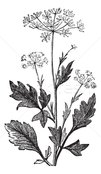 Anise or Pimpinella anisum vintage engraving Stock photo © Morphart