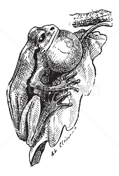 Frog, vintage engraving Stock photo © Morphart