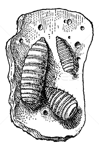 Larvae of Botfly or Oestridae, vintage engraving Stock photo © Morphart