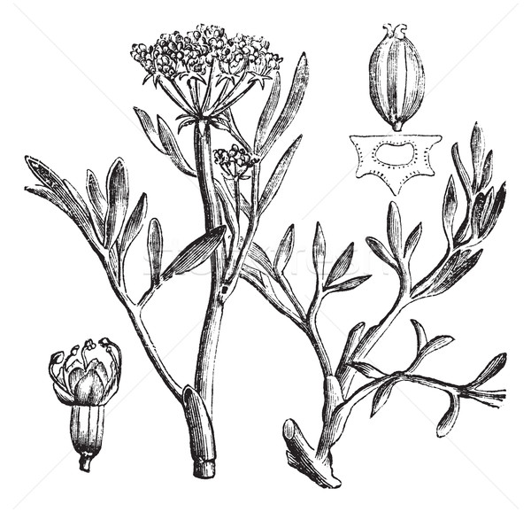 Samphire or rock samphire or Crithmum maritimum, vintage engravi Stock photo © Morphart