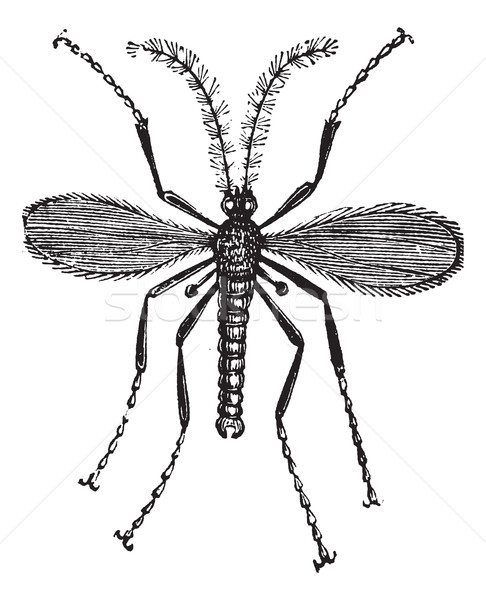 Hessian fly, or Mayetiola destructor vintage engraving Stock photo © Morphart
