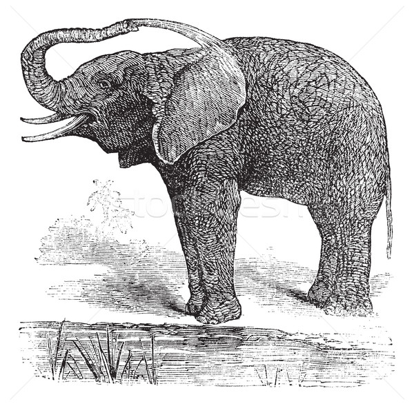 African Bush Elephant or Loxodonta africana, vintage engraving Stock photo © Morphart