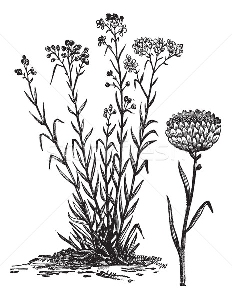 Helichrysum orientale vintage engraving Stock photo © Morphart