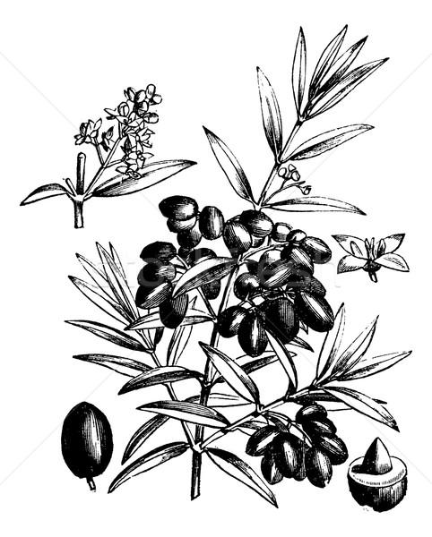 Olive vintage gravure gravé illustration encyclopédie Photo stock © Morphart
