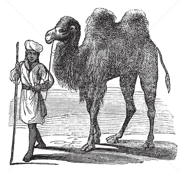 Bactrian camel or Camelus bactrianus vintage engraving Stock photo © Morphart