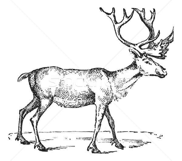 Reindeer, vintage engraving. Stock photo © Morphart