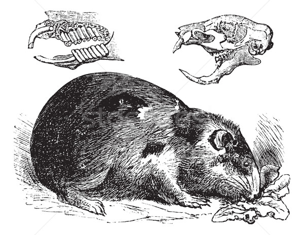 Guinea pig or Cavy or Cavia porcellus vintage engraving Stock photo © Morphart