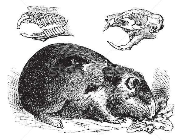 морская свинка Vintage старые иллюстрация Сток-фото © Morphart