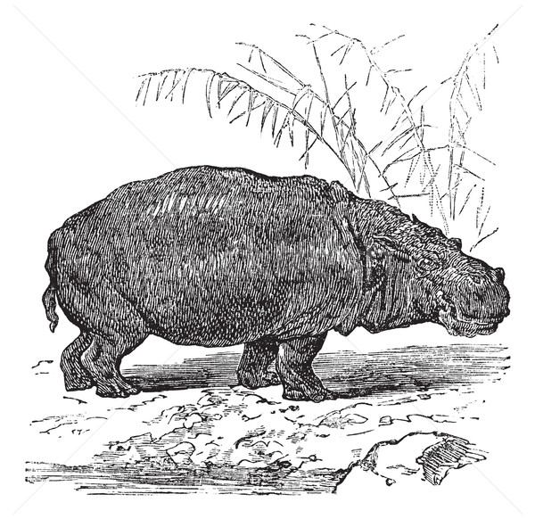 Hippopotamus or Hippopotamus amphibius vintage engraving  Stock photo © Morphart