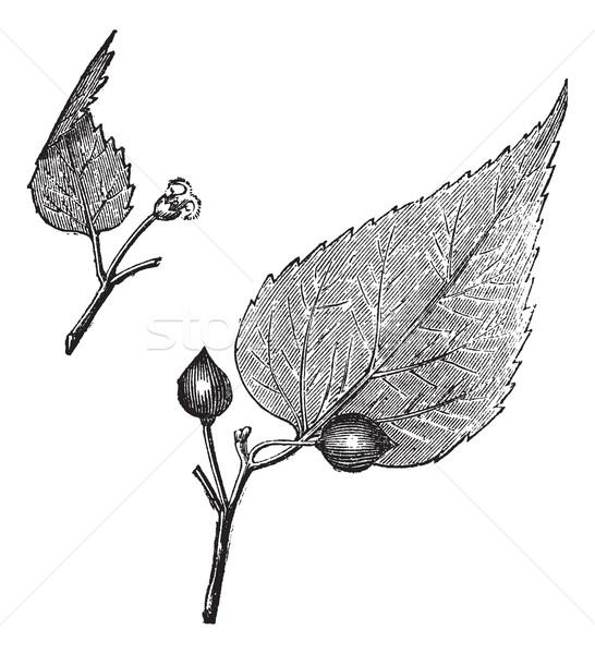 Photo stock: Virginie · vintage · gravé · illustration · encyclopédie · nature