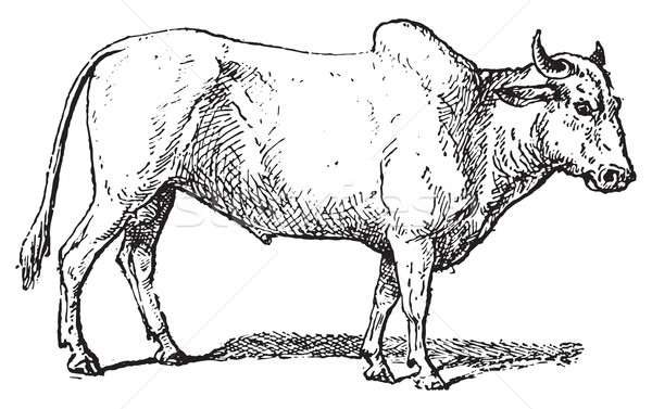 Zebu or Humped cattle, vintage engraving. Stock photo © Morphart