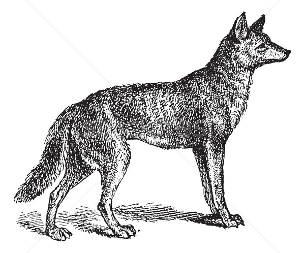 Gray Wolf or Canis lupus, vintage engraving Stock photo © Morphart