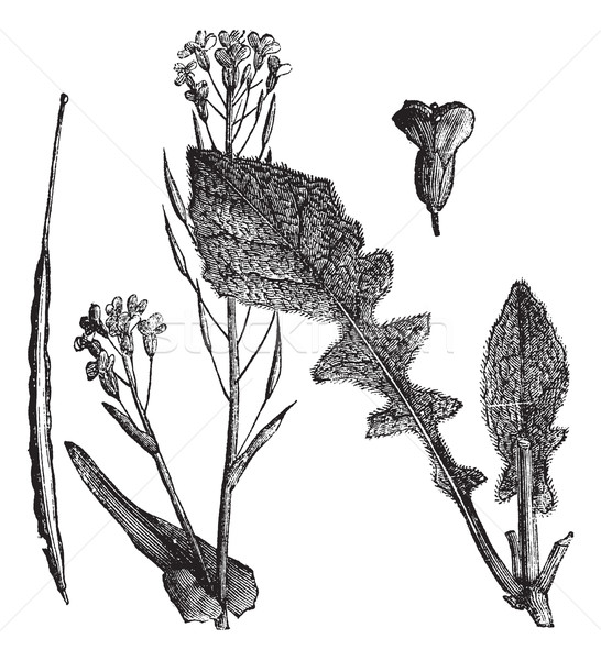Field Mustard or Turnip Mustard or Brassica rapa or Brassica cam Stock photo © Morphart