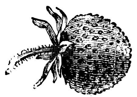 Red Mite or Dermanyssus gallinae, vintage engraving Stock photo © Morphart