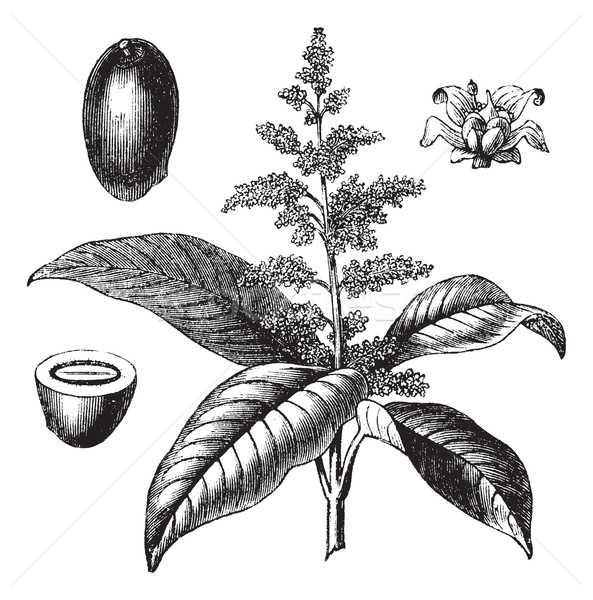 Stock photo:  Indian mango or Mangifera indica vintage engraving