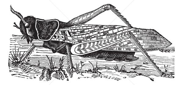 Migratory locust or Locusta migratoria vintage engraving Stock photo © Morphart