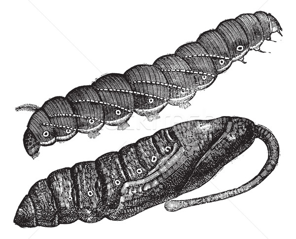 Larva and chrysalis of Sphinx quinquemaculatus vintage engraving Stock photo © Morphart