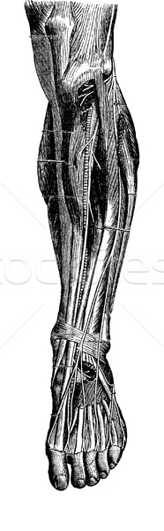 Anterior Region of the Leg, vintage engraving Stock photo © Morphart