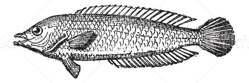 Parrotfish or Scarus sp., vintage engraving Stock photo © Morphart