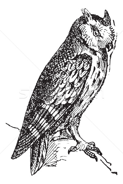 Scops owl perched on branch, vintage engraving. Stock photo © Morphart