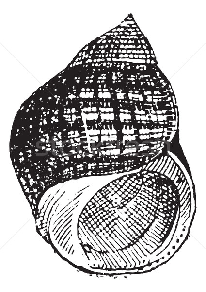 Periwinkle or Littorina sp., vintage engraving Stock photo © Morphart