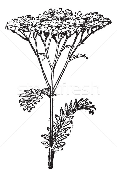 Common Yarrow or Achillea millefolium, vintage engraving Stock photo © Morphart