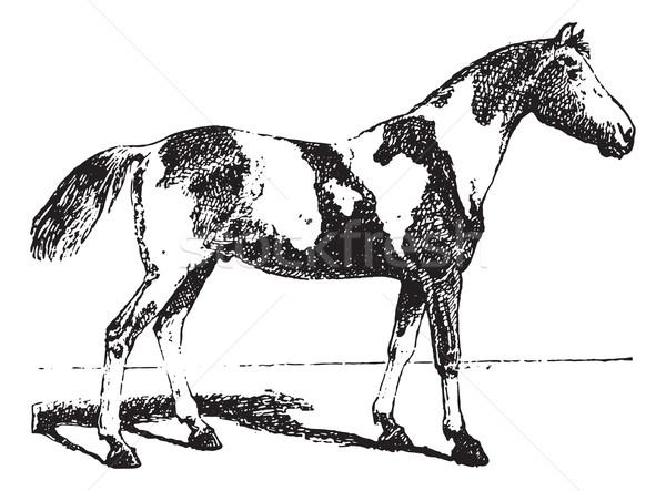 Pinto horse, vintage engraving. Stock photo © Morphart
