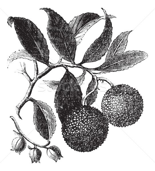 Strawberry Tree or Madrono vintage engraving Stock photo © Morphart